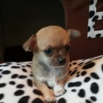 Chihuahua Puppies Full Pedigree
