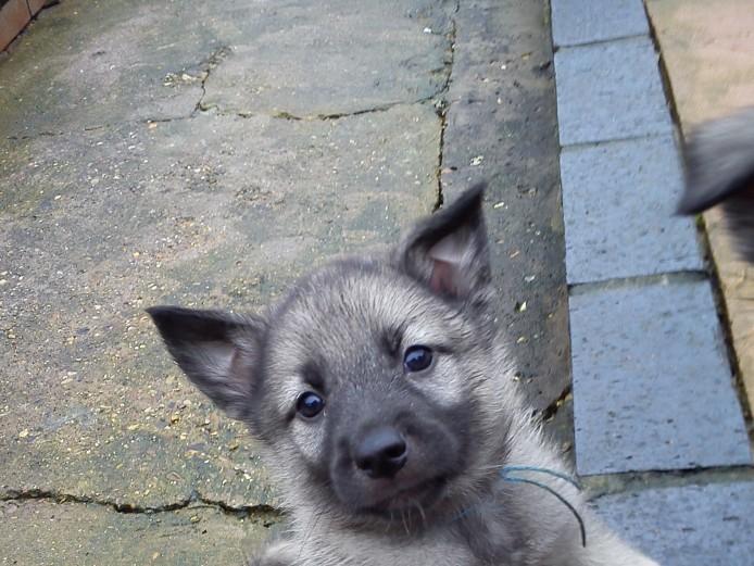 Norwegian Elkhound puppies