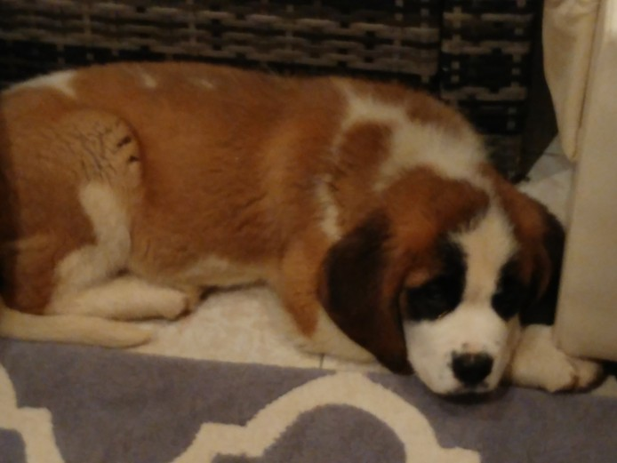 Pedigree saint bernard puppy for sale
