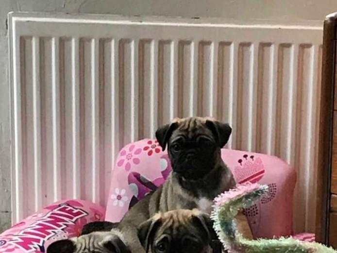 2 little chunky pug boys