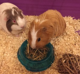 TWO LOVELY MALE GUINEA PIGS FOR SALE