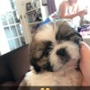 Pets  - Lovely Male shih Tzu 8 weeks old