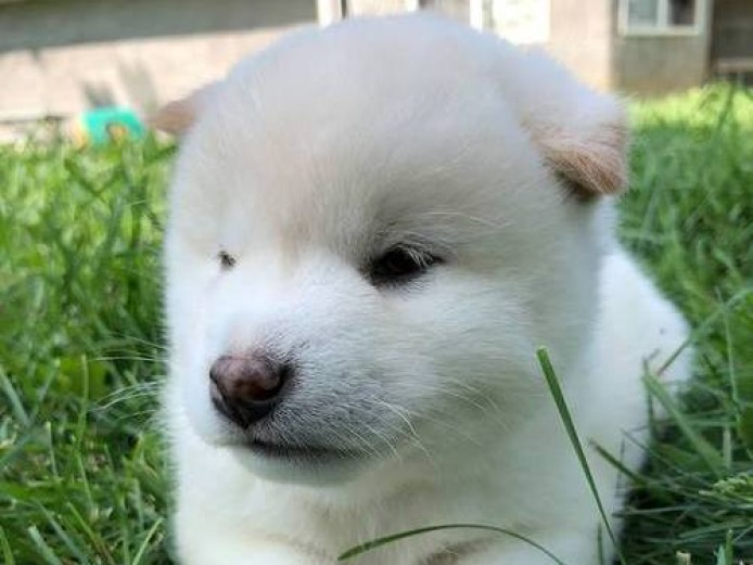 Exceptional Shiba Inu Puppies