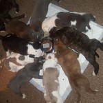 **Chunky olde English bulldogs**