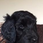 Black Goldendoodle Girl Puppy!