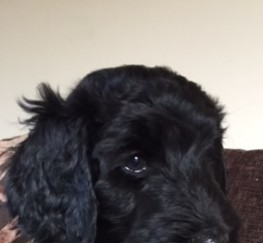 Pets  - Black Goldendoodle Girl Puppy!