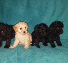 Pets  - Stunning cavapoo puppies