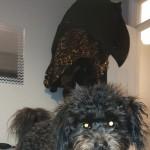 8 month old pomeranian x poodle