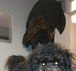 Pets for Sale - 8 month old pomeranian x poodle