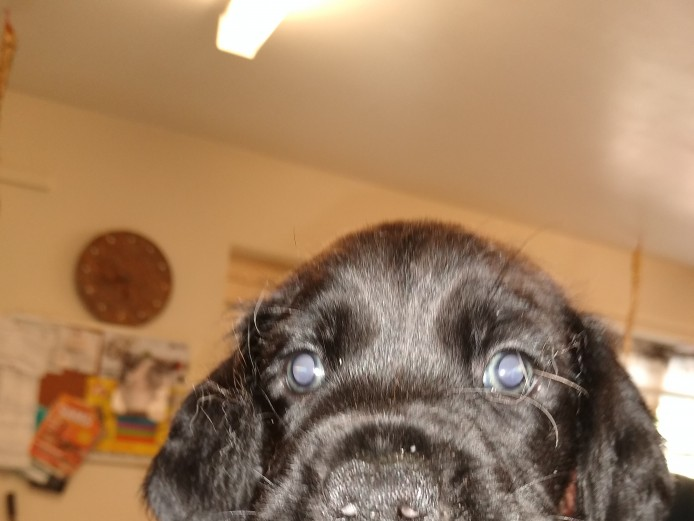 Boxer cross sprocker puppies for sale