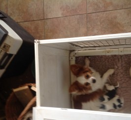 Beautiful papillon boys for sale