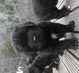 Pets  - Newfoundland puppies (only four boys left)