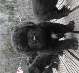 Newfoundland puppies (only four boys left)