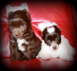 Pets  - chinese crested powderpuff boys