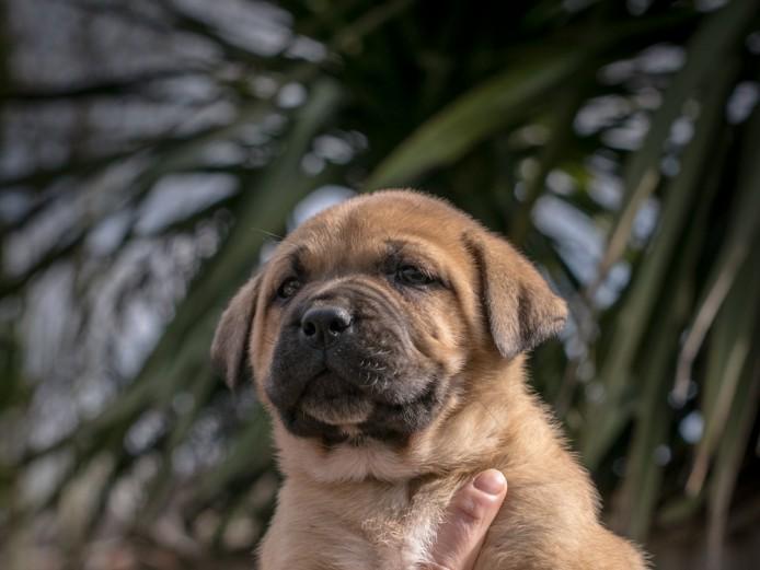 Central Asian Shepherd x Dog de Bordeaux