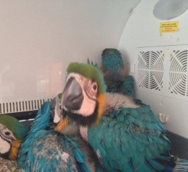 Baby Macaw available for sale