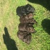 Pets  - Cocker spaniel puppies