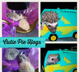 Pygmy hedgehog hoglets ready now can deliver