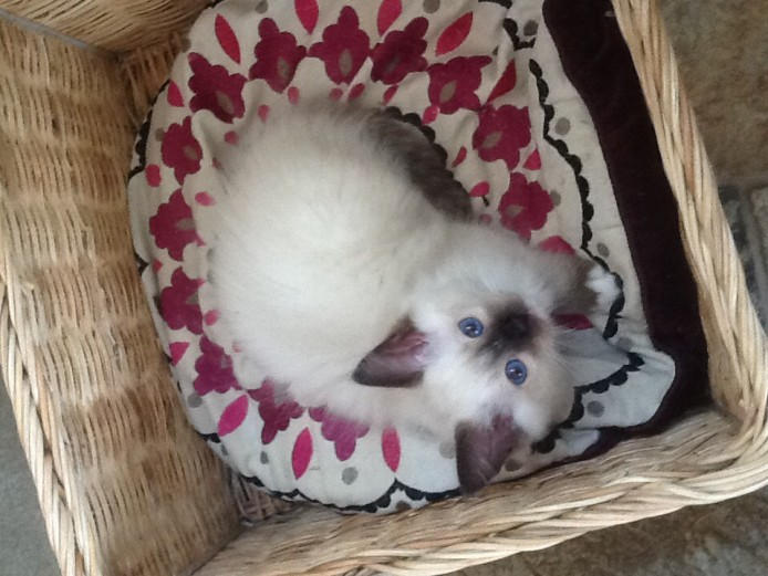 Simply Stunning gccf registered ragdoll kittens