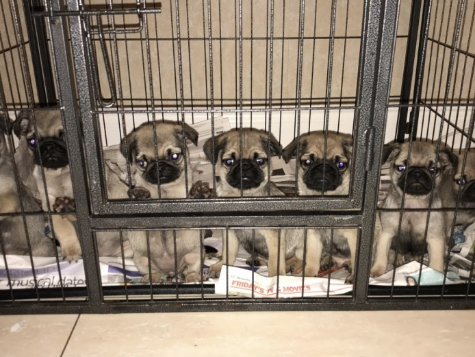 Stunning pug puppies