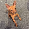 Pets  - 3 Beautiful Miniature Pinscher Puppies For Sale!