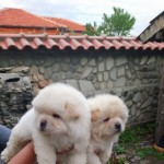 Chow Chows Puppies