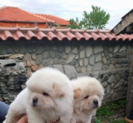 Pets  - Chow Chows Puppies