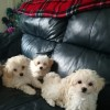 Pets  - Beautiful toy multipoo puppies
