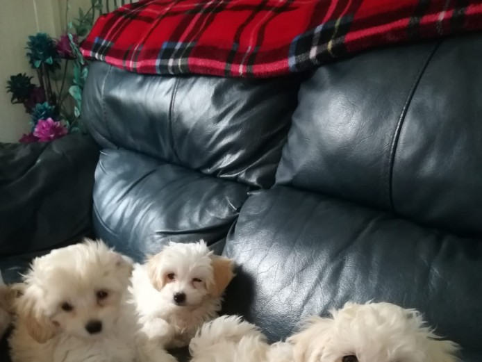 Beautiful toy multipoo puppies