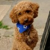 Pets  - Red Toy Poodle PRA Clear