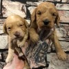 Pets  - F1 APRICOT COCKAPOO BOYS 20 NN CLEAR HEALTH TESTS