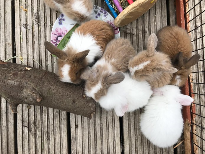 ***Stunning Miniature Lion Lops*** available now