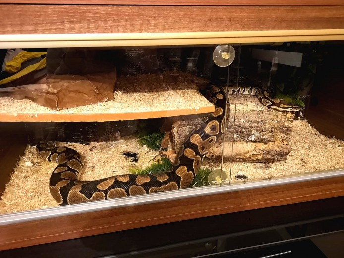 Male Royal Python & Full Set Up
