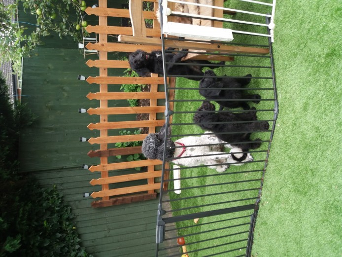 Labradoodle Standard puppies from KC reg parents with range of health testing records