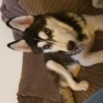 URGENT 6 month old male Siberian Husky for sale