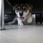 Stunning Wolf-like Husky Mixed Breed Puppies