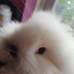Reduced Female Lionhead For Sale
