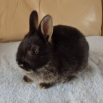 Black Otter Fawn Netherland Dwarf Doe For Sale