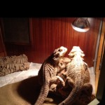 A Lovely Pair Of Bearded Dragons