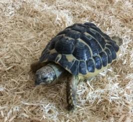 2010 Male Western Hermann\s Tortoise