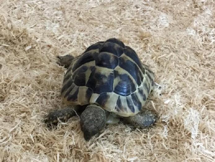 2012 Male Hermann\s Tortoise
