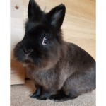 Lovely Lionhead For Sale With Indoor Cage