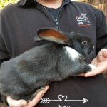 Giant Continental Rabbits For Sale