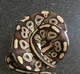 Royal Pythons For Sale