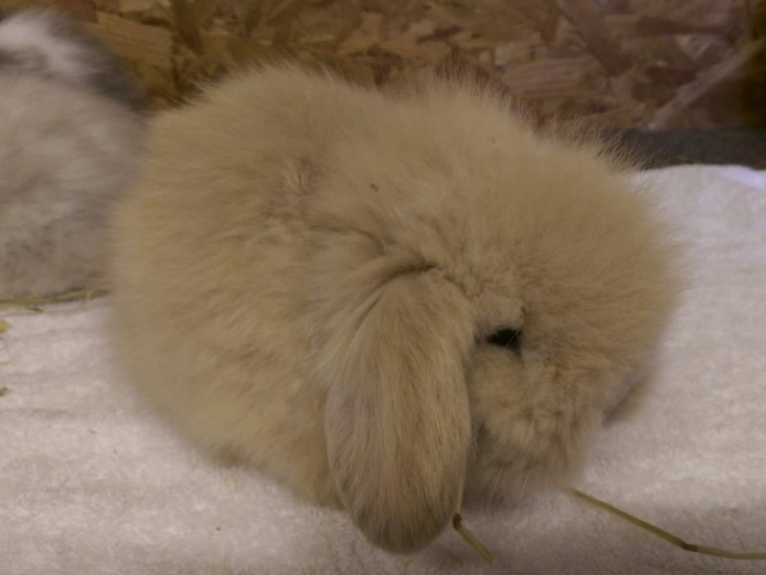 Stunning Mini Lion Lops