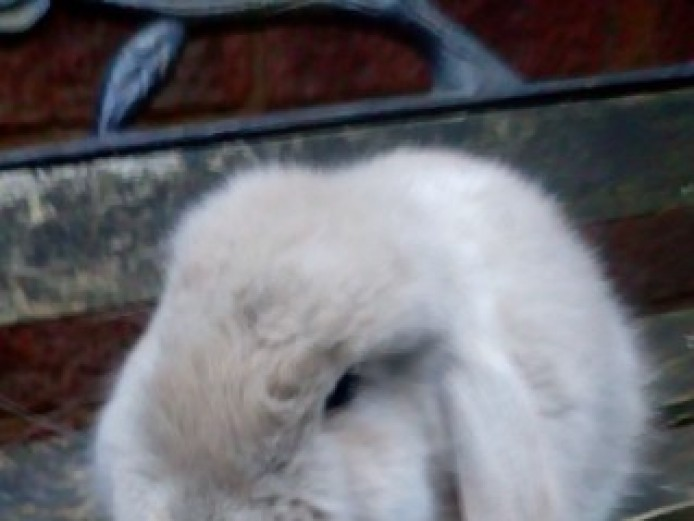 Baby Lavender Baby Female Pure Giant French Lop