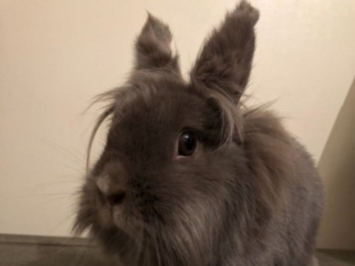 Single Maned Lionhead