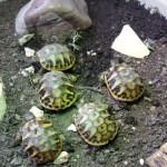 Hermanns Hatchlings For Sale