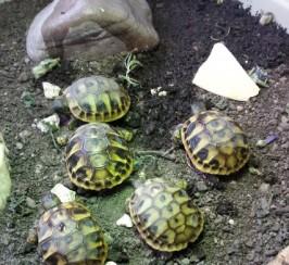 Hermanns Hatchlings For Sale