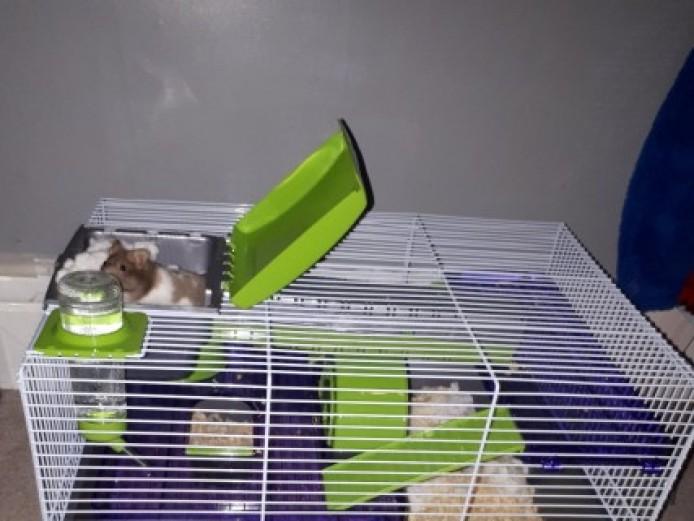 Very Cute Baby Hamster